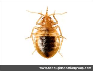 What do bed bug bites look like? Get detailed information